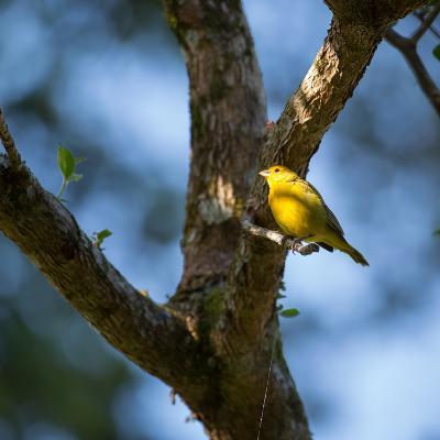 A Saffron Finch, Sicalis Flaveola, Sits on a Branch in Ubatuba, Brazil-Alex Saberi-Photographic Print