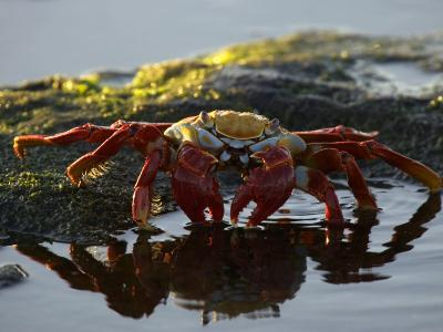 A Sally Lightfoot Crab Dabbling in a Tidal Pool-Ralph Lee Hopkins-Photographic Print