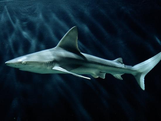 A Sand Bar Shark-George Grall-Photographic Print