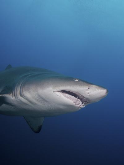 A Sand Tiger Shark Off the Coast of North Carolina-Stocktrek Images-Photographic Print