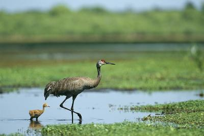 A Sandhill Crane Parent Wades with its Young in the Water-Klaus Nigge-Photographic Print