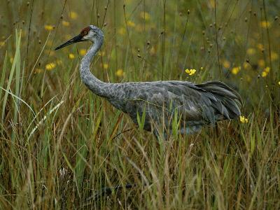 A Sandhill Crane Stands Amid Tall Grass and Wildflowers in Okefenokee Swamp-Randy Olson-Photographic Print