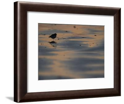 A Sandpiper, Perched on One Leg, Silhouetted on Sandflats at Twilight-Joel Sartore-Framed Photographic Print