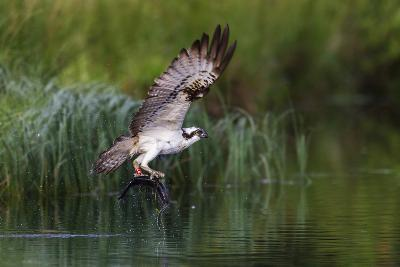 A Satellite Tracked Osprey (Pandion Haliaetus) Flying Above a Small Loch with a Fish in its Talons-Garry Ridsdale-Photographic Print