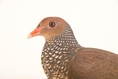 A Scaled Pigeon, Columba Speciosa, at the Nispero Zoo.-Joel Sartore-Photographic Print