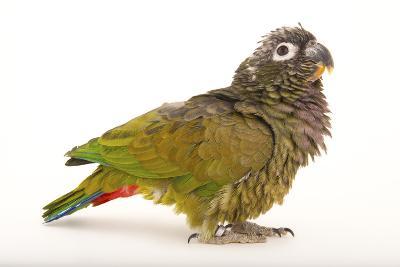 A Scaly-Headed Parrot, Pionus Maximiliani, at Omaha's Henry Doorly Zoo and Aquarium-Joel Sartore-Photographic Print