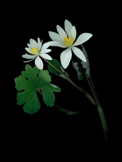 A Scan of a Bloodroot Plant, Sanguinaria Canadensis, in Bloom-Amy & Al White & Petteway-Photographic Print