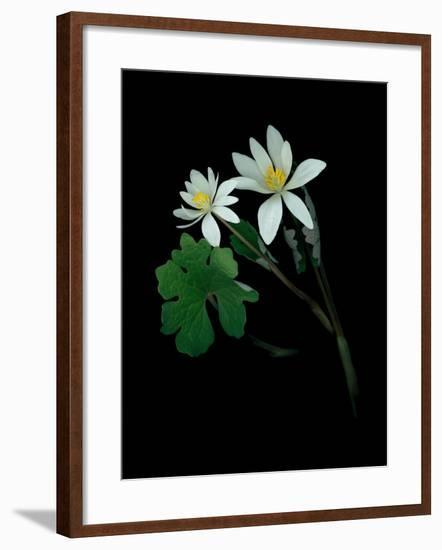 A Scan of a Bloodroot Plant, Sanguinaria Canadensis, in Bloom-Amy & Al White & Petteway-Framed Photographic Print
