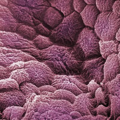 A Scanning Electron Micrograph of the Epithelial Cell Lining of the Bladder-David Phillips-Photographic Print