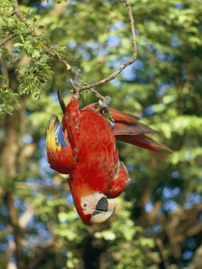 A Scarlet Macaw Hangs Upside-Down from a Branch-Roy Toft-Photographic Print