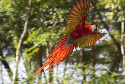 A Scarlet Macaw in Flight-Roy Toft-Photographic Print