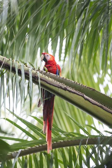 A Scarlet Macaw Perching in a Palm Tree-Michael Melford-Photographic Print