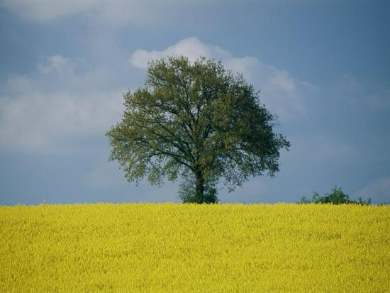 A Scenic View of Bright Yellow Rape Fields with a Single Green Tree at the Top of a Hill-Todd Gipstein-Photographic Print
