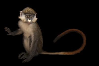 A Schmidt's Red Tailed Guenon, Cercopithecus Ascanius, at the Houston Zoo-Joel Sartore-Photographic Print