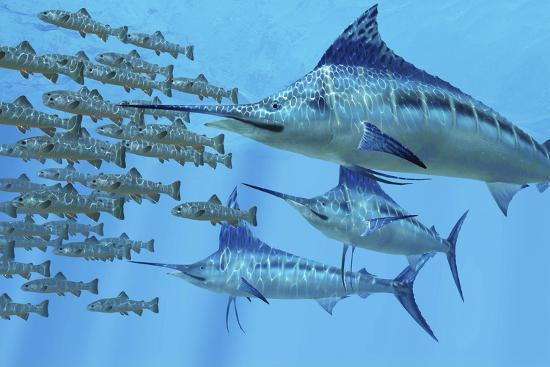A School of Amemasu Fish Try to Evade Three Large Marlin Predators-Stocktrek Images-Art Print