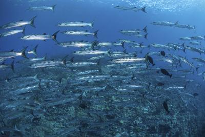 A School of Barracuda Above a Coral Reef in the Solomon Islands-Stocktrek Images-Photographic Print