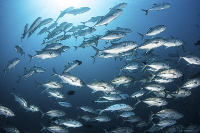 A School of Big-Eye Jacks Above a Coral Reef-Stocktrek Images-Photographic Print