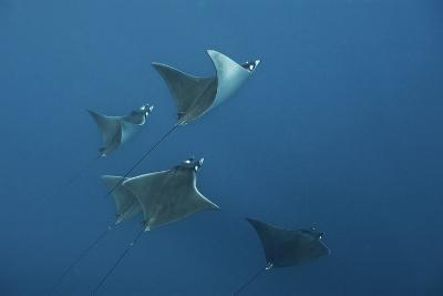 A School of Devil Rays Swim As They Filter Feed Off Isla Mujeres-Mauricio Handler-Photographic Print