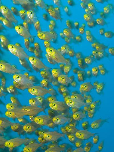 A School of Golden Sweeper Fish, Parapriacanthus Ransonneti-Paul Sutherland-Photographic Print