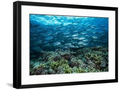 A school of jacks swim above coral on Tubbataha Reef's South Atoll.-David Doubilet-Framed Photographic Print