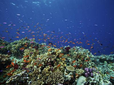 A School of Orange Basslets On a Healthy Fijian Reef-Stocktrek Images-Photographic Print