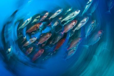 A School of Pinjalo Snappers Can Quickly Change Colors-David Doubilet-Photographic Print