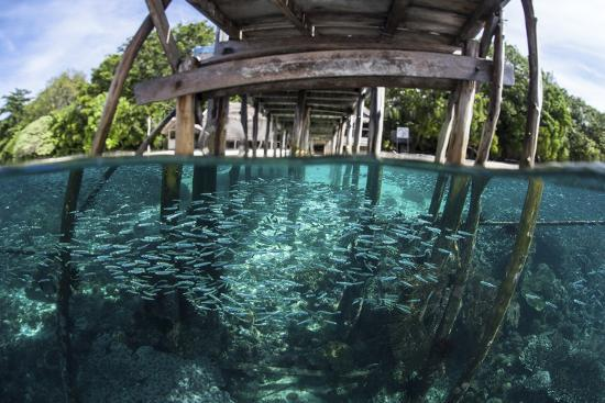 A School of Silversides Beneath a Wooden Jetty in Raja Ampat, Indonesia-Stocktrek Images-Photographic Print