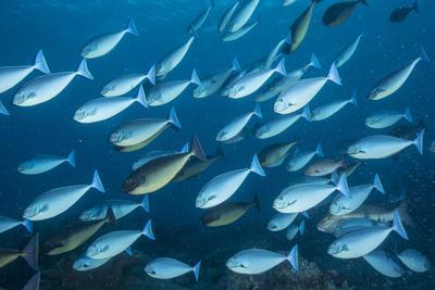 https://imgc.artprintimages.com/img/print/a-school-of-surgeon-fish-swim-in-tubbataha-reefs-natural-park_u-l-q1dc75i0.jpg?p=0
