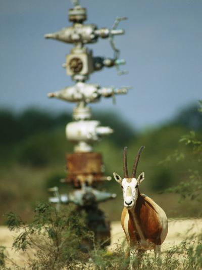 A Scimitar Horned Oryx Next to an Oil and Gas Well-Joel Sartore-Photographic Print