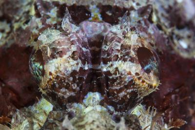 A Scorpionfish Lays on a Reef in Indonesia-Stocktrek Images-Photographic Print