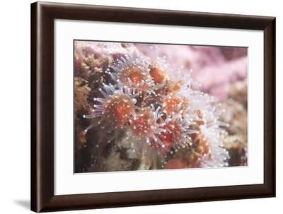 A Sea Anemone-Cesare Naldi-Framed Photographic Print
