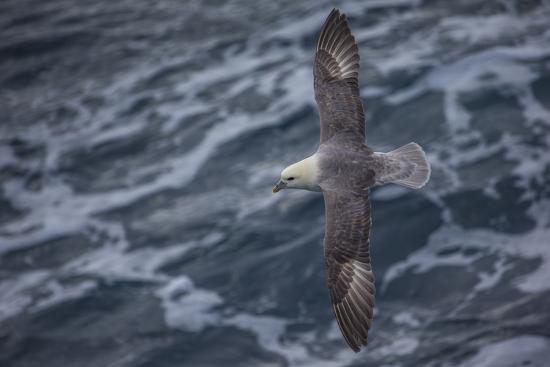 A Sea Gull Flies Alongside a Boat En Route to Franz Josef Land-Cory Richards-Photographic Print