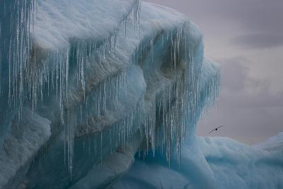A Sea Gull Glides Past an Iceberg Off Dundee Island-David Griffin-Photographic Print