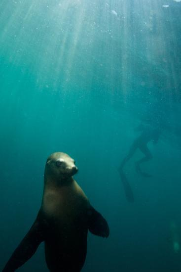 A Sea Lion Checks Out the Cameraman with a Swimmer in the Background-Ben Horton-Photographic Print