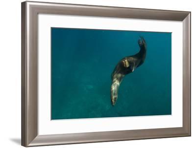 A Sea Lion Swims Off Santa Barbara Island-Cesare Naldi-Framed Photographic Print