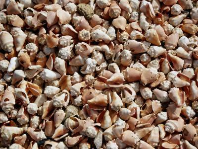 A Sea of Conch Shells Covers the Beach on Margarita Island-Wolcott Henry-Photographic Print