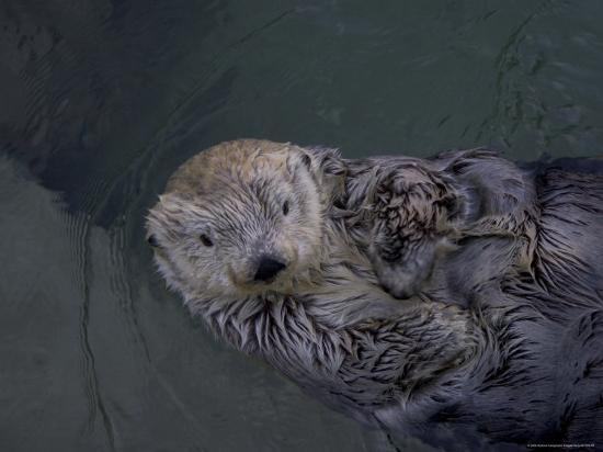 A Sea Otter Gazes at the Camera-Taylor S^ Kennedy-Photographic Print