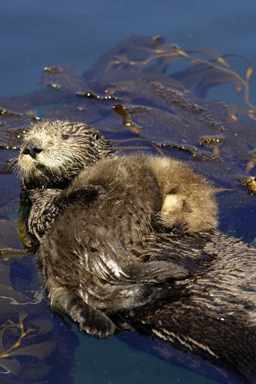A Sea Otter Pup, Enhydra Lutris, Resting on its Mother's Stomach in a Kelp Bed-Jeff Wildermuth-Photographic Print