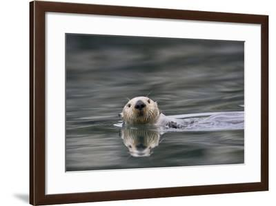 A Sea Otter Swims in Alaskan Waters-Michael Quinton-Framed Photographic Print