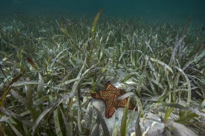 A Sea Star in Seagrass Beds in Gardens of the Queen-David Doubilet-Photographic Print