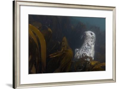 A Seal Swims in a Bed of Kelp Off the Farne Islands-Cesare Naldi-Framed Photographic Print