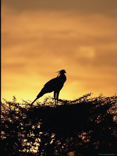 A Secretary Bird on Her Nest-Beverly Joubert-Photographic Print