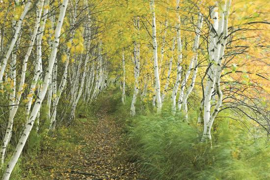 A Sedge-Lined Trail Through a Birch Forest-Michael Melford-Photographic Print