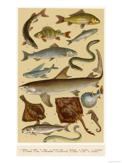 A Selection of Fish--Giclee Print