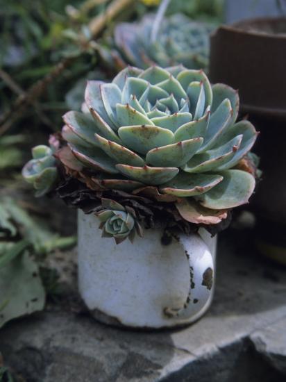 A Sempervivum Succulent Plant Grows in a Tin Mug-David Evans-Photographic Print