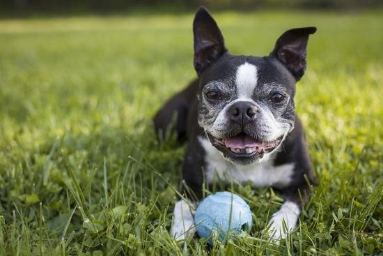 A Senior Boston Terrier Plays with a Ball in Her Backyard-Hannele Lahti-Photographic Print