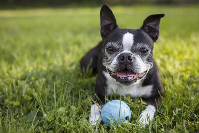 https://imgc.artprintimages.com/img/print/a-senior-boston-terrier-plays-with-a-ball-in-her-backyard_u-l-pw562p0.jpg?p=0