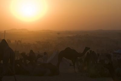 A Setting Sun and Silhouetted Camels at the Pushkar Camel Fair-Steve Winter-Photographic Print