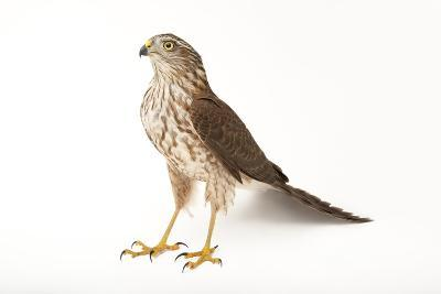 A Sharp-Shinned Hawk, Accipiter Striatus.-Joel Sartore-Photographic Print