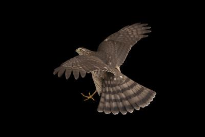 A Sharp-Shinned Hawk, Accipiter Striatus.-Joel Sartore-Photographic Print